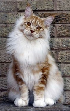 Cats And Kittens Maine Coon Lion 39 Best Ideas Cute Cats And Kittens, Cool Cats, Kittens Cutest, Ragdoll Kittens, Tabby Cats, Funny Kittens, White Kittens, Black Cats, Toyger Cat