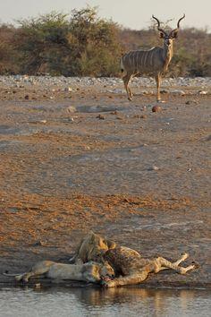 Etosha kudu