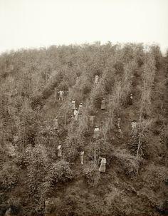 Escravos na colheita de café, Vale do Paraíba, 1882 (Marc Ferrez/Colección Gilberto Ferrez/Acervo Instituto Moreira Salles).