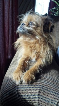 The intelligent and cheerful Brussels Griffon has a terrier-like disposition and is known for his almost human expression. This affectionate breed comes in a variety of colors, including red, belge (black and reddish brown), black and tan, or black. This breed makes a good watchdog and can be taught to perform a variety of tricks.