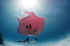 Underwater Photographer, Underwater Photos, Underwater World, Great Barrier Reef, Panthères Roses, Orang Utan, National Geographic Photographers, Colossal Art, Underwater Creatures
