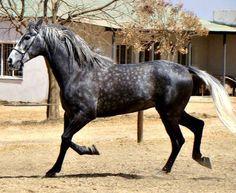 SA Boerperd stallion Rooigras Orkaan. photo: Natasha Botha.