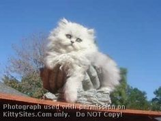 Carrousel Persian Cattery