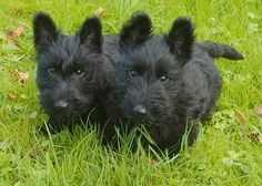Scotties | Farr Family Blog part 2: Twin Scottie Puppies.