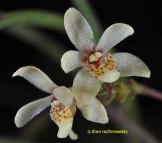 Cordiglottis filiformis - Another Color-form