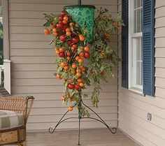 Growing Tomatoes Upside Down Several varieties of Tomatoes, 2 in upside down planters and 1 in regular container ** This is not my Photo ** Growing Tomatoes Indoors, Growing Tomato Plants, Growing Tomatoes In Containers, Grow Tomatoes, Upside Down Plants, Upside Down Tomato Planter, Types Of Tomatoes, Varieties Of Tomatoes, Tomato Growers