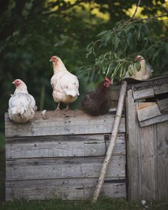 Chickens: Creating a Dual-Purpose UK Easter Egger Flock – Part 3 - The Seasonal Table Electric Poultry Netting, Country Girls, Country Living, Country Life, Country Style, Chicken Cottage, Selective Breeding, Laying Hens, Blue Eggs
