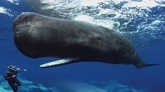 Sperm whales use a series of clicking noises to communicate with one another. Author James Nestor provides some incredible video footage of sperm whales trying to communicate with free divers nearby. Orcas, Shark Diving, Deep Diving, Save The Whales, Little Island, Blue Whale, Photos Du, Marine Life, Whales