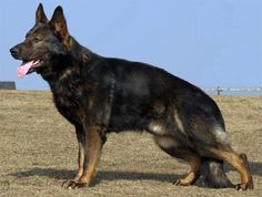 black Sable German Shepherd | German Shepherd Dog > Black Sable GSD kennel ALPINEK9 (70 replies)