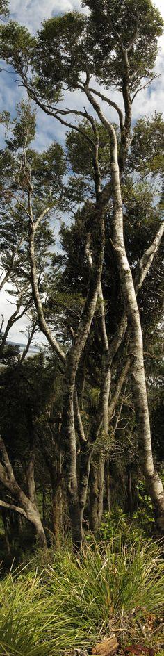 Coigüe de Chiloe