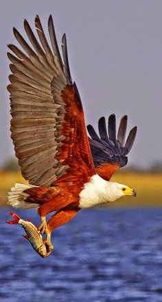 #Roofvogels #Birdofprey I don't know who this is....do you? I am familiar with many birds of prey, but I have never seen colors like this....African fish eagle.very beautiful