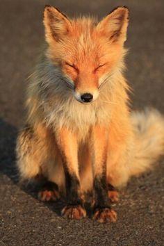 Fox basking in the sun
