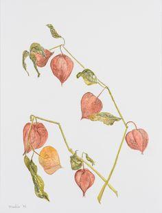 Oranje lampionplant, waterverf van Marlies Huijzer