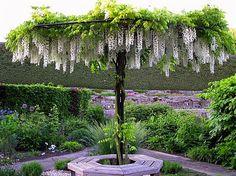 glicinia-wisteria-sinensis-trepadeira