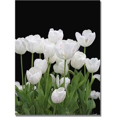 Trademark Art White Tulips Canvas Wall Art by Kathie McCurdy, Size: 35 x 47, Multicolor