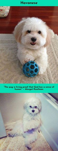 Everything we all admire about the Outgoing Havanese Pup Havanese Puppies, Dogs And Puppies, Maltipoo, Best Dog Breeds, Best Dogs, I Love Dogs, Cute Dogs, Companion Dog, Little Critter