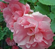 Easy-To-Grow John Davis Rose