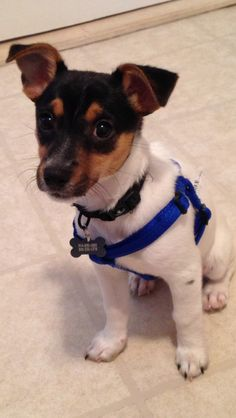 Silver the Jack Russell terrier ♥ - This pup looks like my baby Outlaw when his was a puppy. He's 17 yrs old now & still a handful!