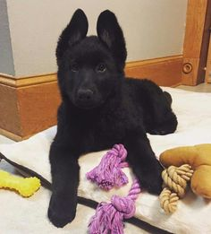 German Shepherd Dogs Black german shepard pup - Tap the pin for the most adorable pawtastic fur baby apparel! You'll love the dog clothes and cat clothes! Black German Shepard, German Shepherd Dogs, German Shepherds, German Dogs, Cute Puppies, Cute Dogs, Malinois, Yorkshire Terrier Puppies, Dog Activities