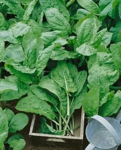 9 Herb Cures You can Grow at Home! Sprouting Seeds, Planting Seeds, Herb Garden, Vegetable Garden, Starting Seeds Indoors, Dried Beans, Seed Packets, Garden Seeds, Seed Starting