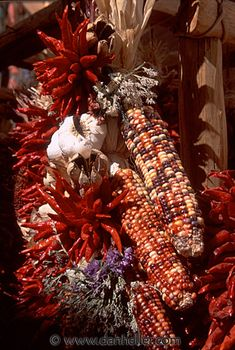 indian-corn.jpg america, corn, desert southwest, images, indian country, indians, new mexico, north america, santa fe, southwest, united states, vertical, western usa