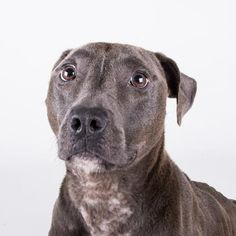 Addie - URGENT - Dekalb County Animal Shelter in Decatur, Georgia - ADOPT OR FOSTER - 2 year old Spayed Am. Pit Bull Mix - This goofy loves to play. She bounces around until she's all tuckered out. Even though she enjoys playing, she knows to settle down and loves a comfy bed. She loves to cuddle and gives kisses any chance she gets. She gets along great with other dogs and may like sharing her home with a canine companion. New things can be a little scary to Addie, but she recovers quickly.