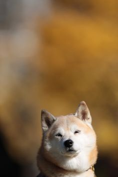 Underdogs I Photograph Dogs From Underneath Furry Funny - Ryuji the shiba inus endless expressions will melt your heart