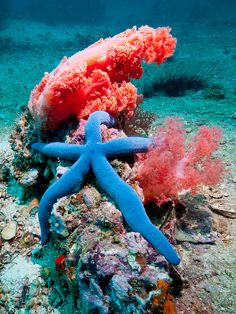 Linckia Laevigata is a species of Sea Starfish in the shallow waters of tropical Indo-Pacific. Underwater Creatures, Underwater Life, Ocean Creatures, Under The Water, Life Under The Sea, Sea And Ocean, Fish Ocean, Beautiful Ocean, Sea World