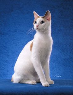 japanese bobtail cat pictures of cats 2 Why Do Cats Purr, I Love Cats, Cats And Kittens, Cute Cats, Gato Bobtail, Chat Pusheen, Savannah, Japanese Bobtail, Sphinx
