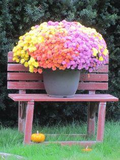 Beautiful Autumn Mums