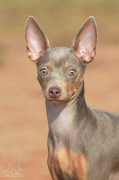 Реалити Шоу ЭПОХА ВОЗРОЖДЕНИЯ Miniature Doberman Pinscher, Doberman Pinscher Puppy, Baby Puppies, Dogs And Puppies, Min Pins, Puppy Names, Chihuahuas, Dog Portraits, Puppys