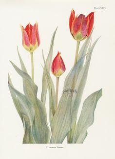 Dykes Tulip Prints 1930