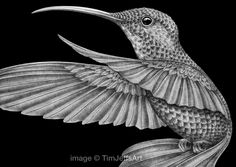 "Detailed things come in small packages! The intricate details of nature always keep astonishing me! ""Hummingbird"" for coloring book 2 Prints and posters are available here: https://www.etsy.com/listing/460109362  ‪#‎hummingbirds‬ ‪#‎hummingbird‬ ‪#‎birds‬ ‪#‎wildlife‬ ‪#‎coloring‬ ‪#‎adultcoloring‬"
