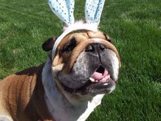 Reba, the best looking easter Bully EVER!