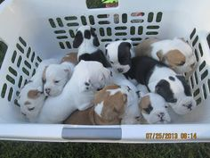 Beautiful Olde English Bulldog Puppies