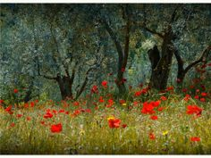 http://www.scenicreflections.com/files/poppies%20and%20olive%20trees%20Wallpaper__yvt2.jpg