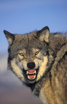 Wild Animal Wallpaper, Wolf Wallpaper, Wolf Growling, Wolf Poses, Snarling Wolf, Angry Wolf, Wolf Photography, Wolf Pup, Wolf Pictures