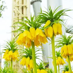 50 Yellow Imperial Crown Flower Seeds Rare Fritillaria imperialis Lutea Plants Showy Blooms Grow Home Garden Decor DIY