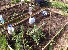 Broad beans and squash