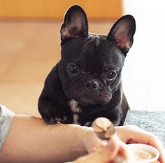 When you're in a mood and bae brings you ice cream to fix it Cute Puppies, Cute Dogs, Dogs And Puppies, Baby Animals, Cute Animals, French Bulldog Puppies, French Bulldogs, French Dogs, Bullen
