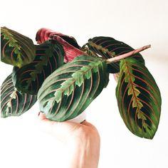 prayer plant growing tips. maranta houseplant. visit BLOG tips at:  www.plantsdontwine.com