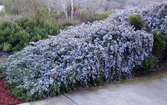 Creeping Rosemary - along front sidewalk planting beds