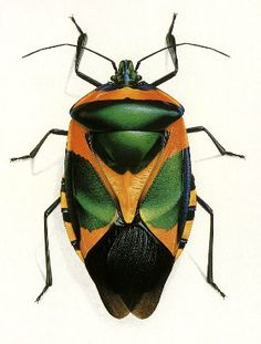 Bernard Durin — Beetles and other Insects Weird Insects, Cool Insects, Bugs And Insects, Beetle Insect, Beetle Bug, Insect Art, Shield Bugs, Stink Bugs, Cool Bugs