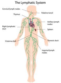 A Note From Your Fitness RN: The Lymphatic System and Exercise-A Holistic Approach to Better Health
