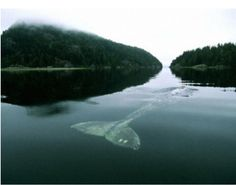 The #Loneliest #Whale in World : In 2004, The New York Times wrote an article about the loneliest whale in the world. Scientists have been tracking her since 1992 and they discovered the problem: she isn't like any other #baleen whale.
