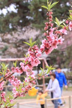 桜 さくら サクラ flower