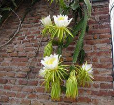 Rainha-da-noite – Hylocereus undatus - A rainha-da-noite deve ser cultivada a pleno sol ou meia-sombra, em substrato leve, próprio para epífitas e misturado com terra de jardim e matéria...