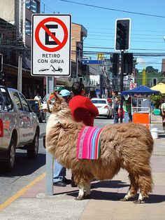 Observing the Highway Code - a llama waits to cross in Puerto Montt, Chile