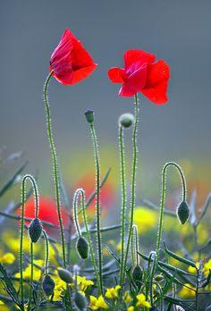 outdoormagic: Poppies by Alan MacKenzie on. Wonderful Flowers, Wild Flowers, Beautiful Flowers, My Flower, Flower Art, Flower Power, Red Poppies, Flower Photos, Champs
