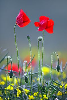 Poppies | First poppies of the summer. / Photo: Alan MacKenzie on Flickr